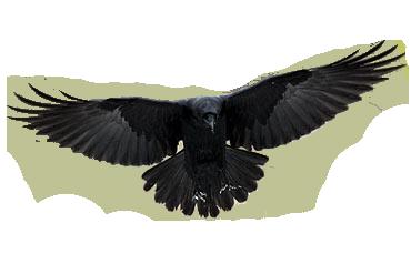 cuervo png