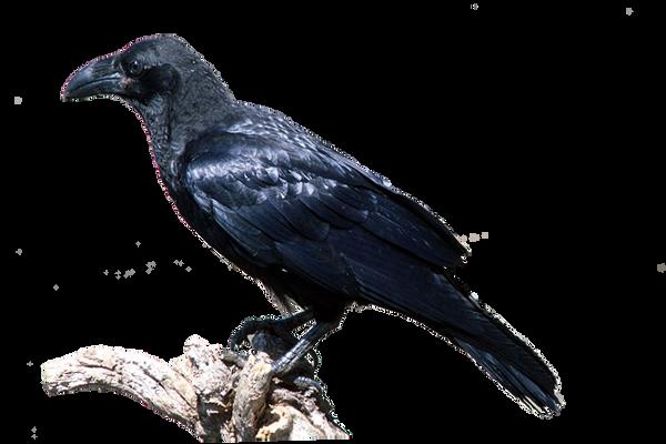 سكرابز طيور وحيوانات صور حيوانات للتصميم صور حيوانات مفرغة بدون cuervo_png_by_eross_666-d53a3ar.png