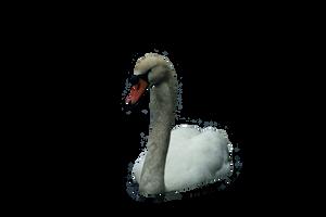 cisne png