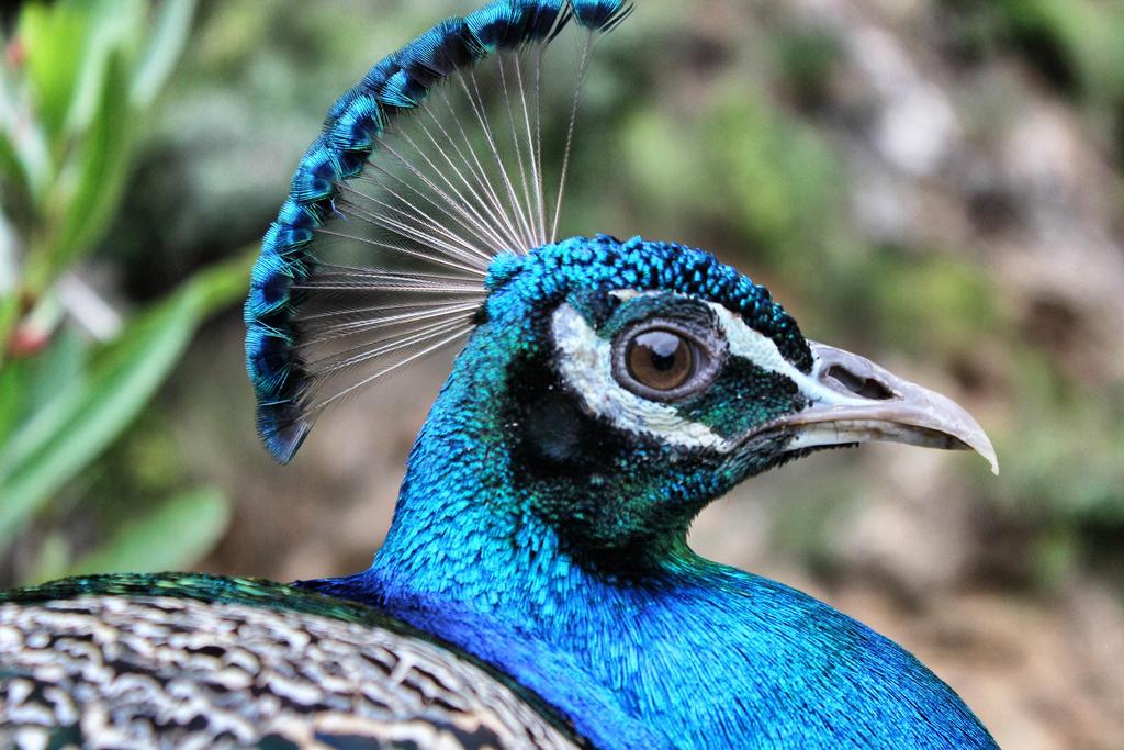 Blue Peacock by Reham-Y