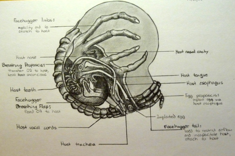 Facehugger Diagram by predatoress27 on DeviantArt