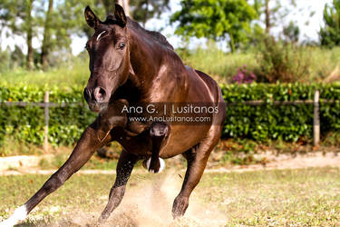 Lusitano Filly by madboy