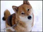 Shiba's New Snow by martonsleftshoe