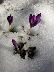 crocus in the snow by AilwynRaydom