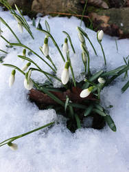 Snow Drops~ by AilwynRaydom