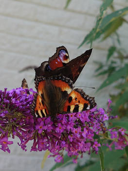 tortoise-shell and peacock eye butterflies