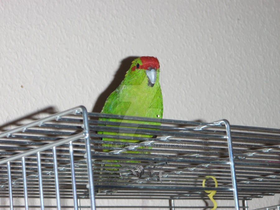 Red-crowned Parakeet  Mickey by Katla-cat