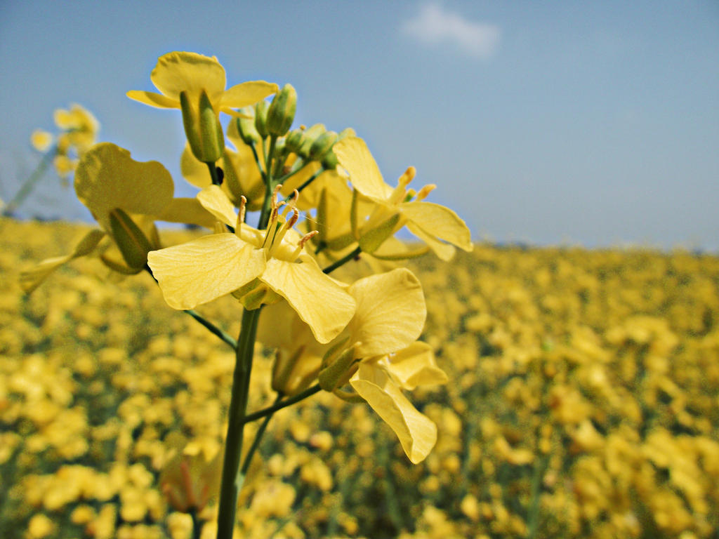 Mustard Seed Flowers By ShimmyShake0 ...