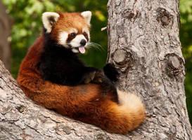 Red Panda by emerica84