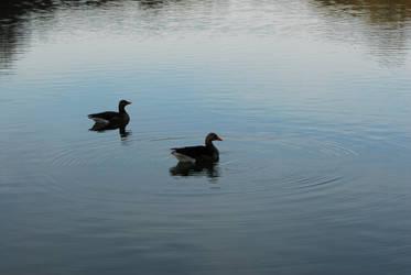ducks by adgjl01