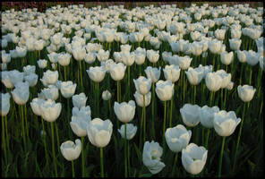 Sea of white tulips by MissLumikki