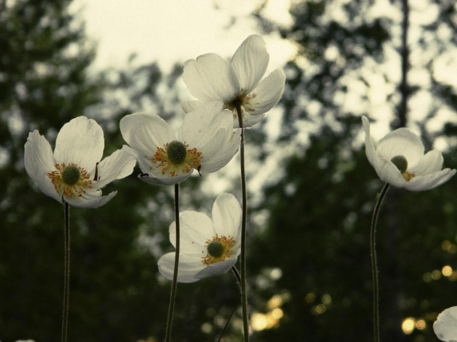 White Anemones2 by MissLumikki