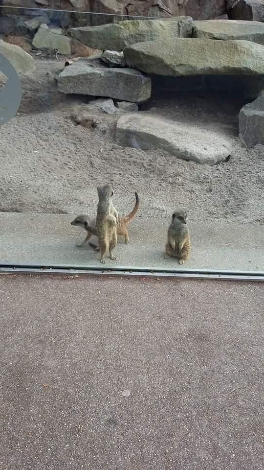 Meerkats at Edinburgh Zoo