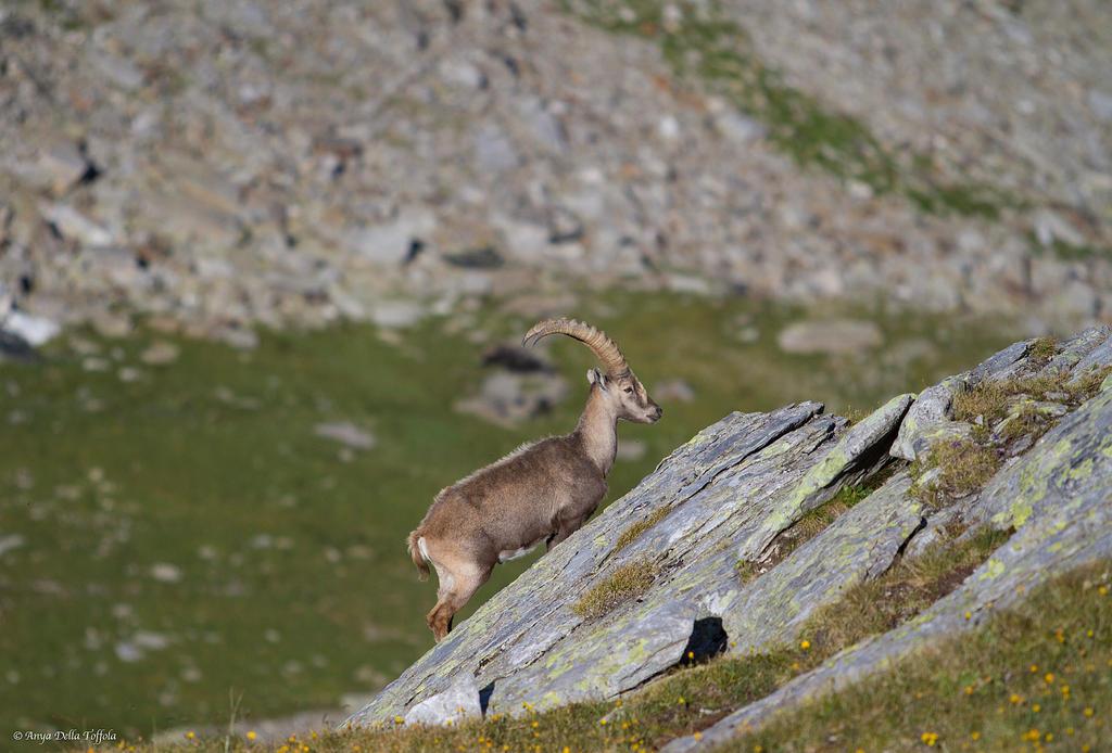 Capra Ibex by TheIrishSheep