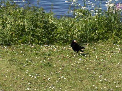 Hungry Crow - 2