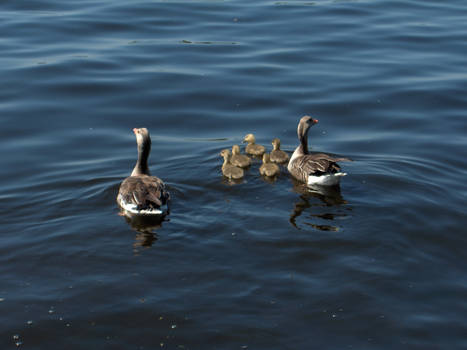 Geese - 2