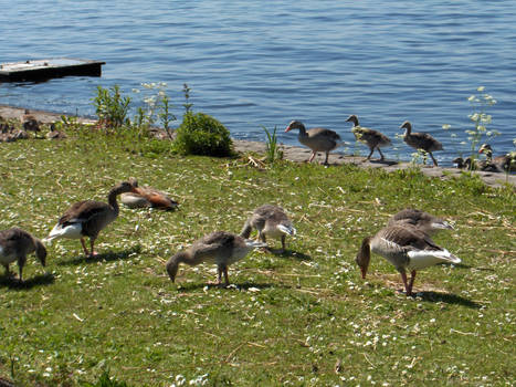 Geese - 5