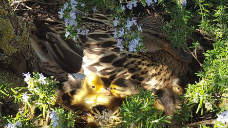 Ducks in Rosemary