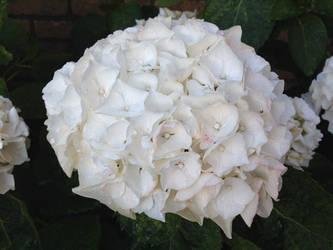 White Hortensia