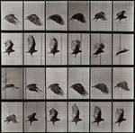Crow in flight