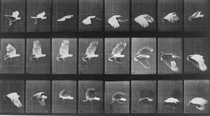 Cockatoo Flight by animation-stock