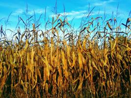 Corn by Schvenn