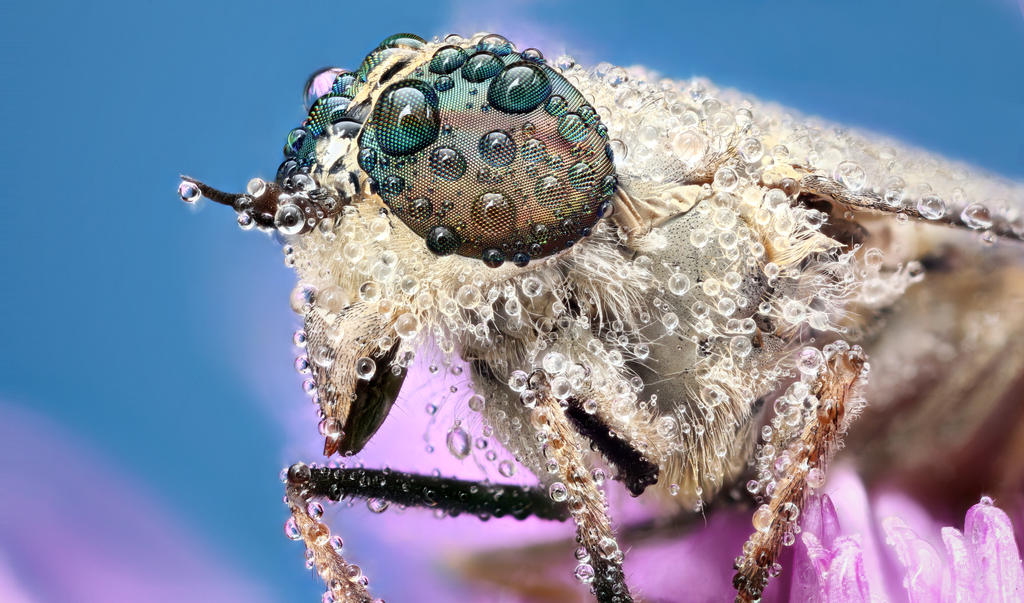 Horsefly by petrwolf