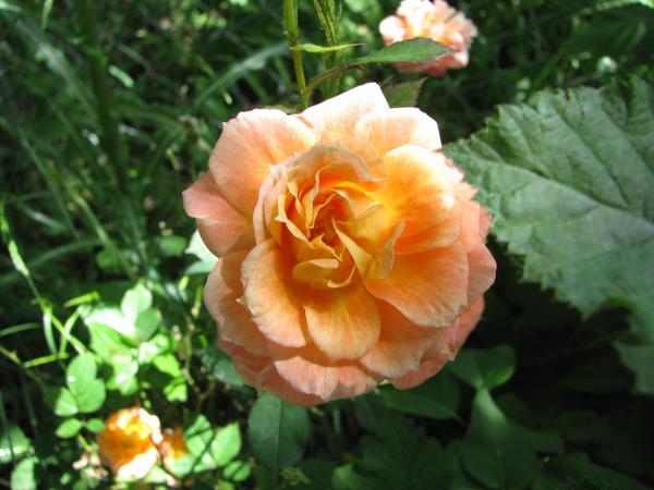Rose by Aquashadow13