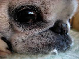 my pug by dandelionblowaway