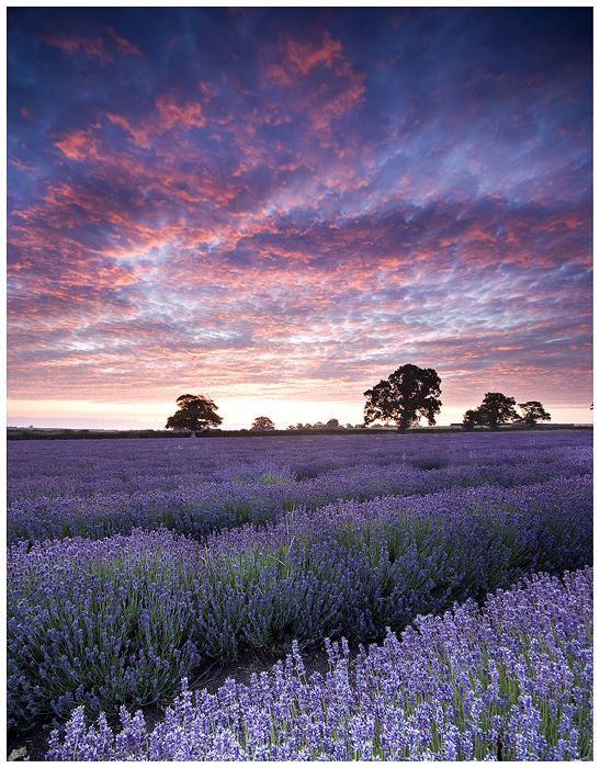 Lavender 2 by SebastianKraus
