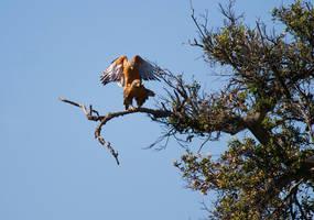 Hawks Mating