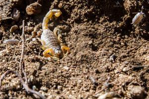 Scorpion Buthus occitanus by VitoDesArts
