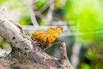 Butterfly Polygonia c-album open