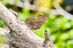 Butterfly Polygonia c-album closed