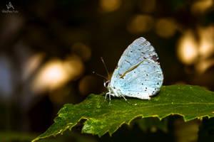 Butterfly Celastrina Argiolus by VitoDesArts