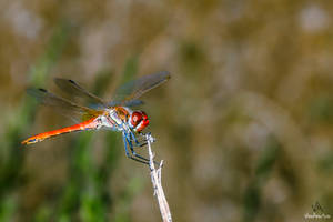 Dragonfly Sympetrum Fonscolombii #1 by VitoDesArts