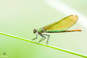 Calopteryx Virgo #1 by VitoDesArts