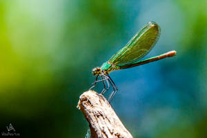 Calopteryx Virgo female by VitoDesArts