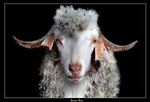 The Sheep by liranlevi0