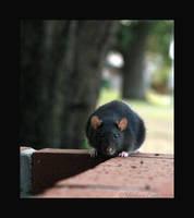 rat wall by strawberrykangaroo