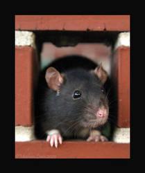 brick rat by strawberrykangaroo