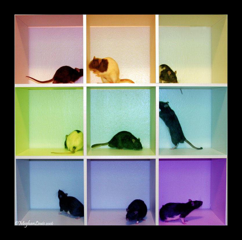 rainbow rats by strawberrykangaroo