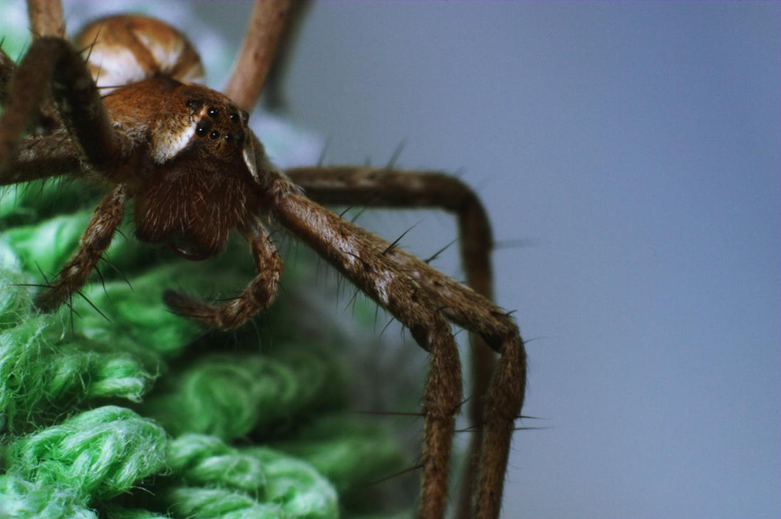 Wolf spider by mslijkhuis