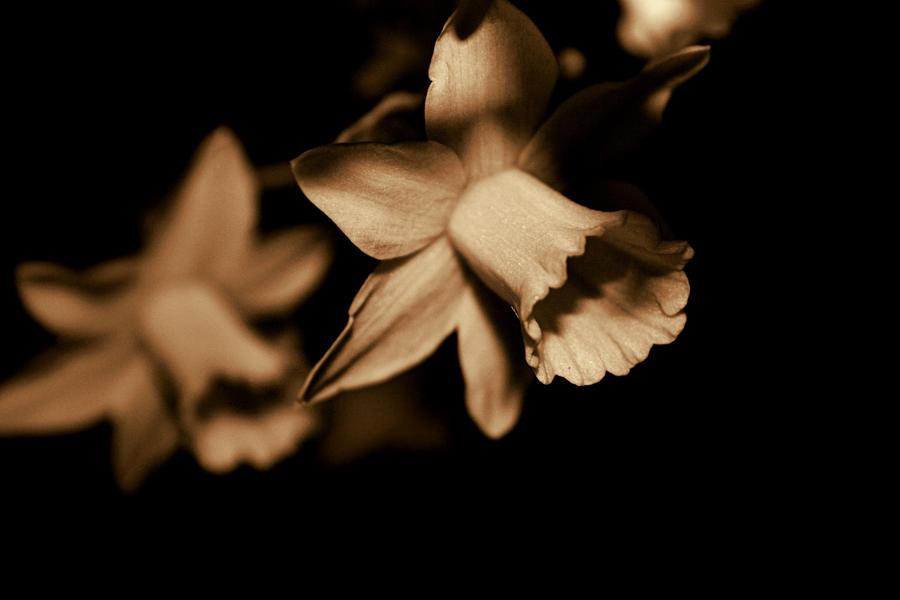 Daffodils by zestkitten