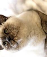 Kitten by zestkitten