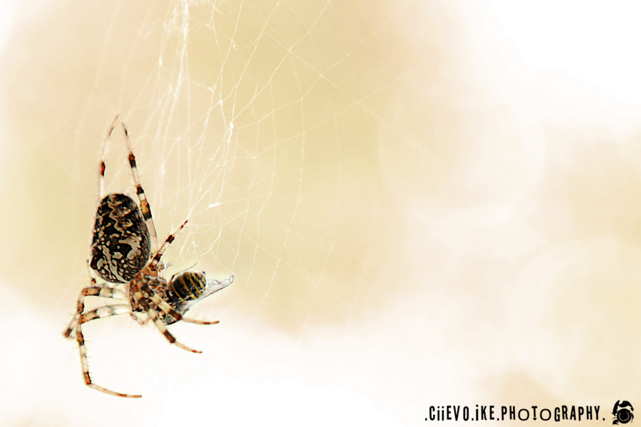 ::Spider:: by Ciievo