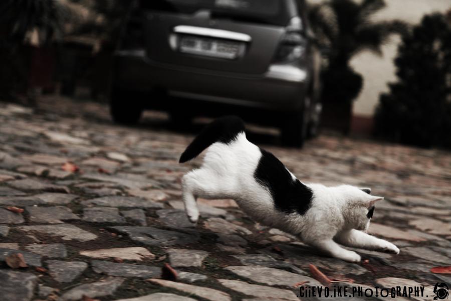 ::Kitten Running:: by Ciievo
