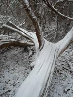 Snow Cedar by SylvanSmith