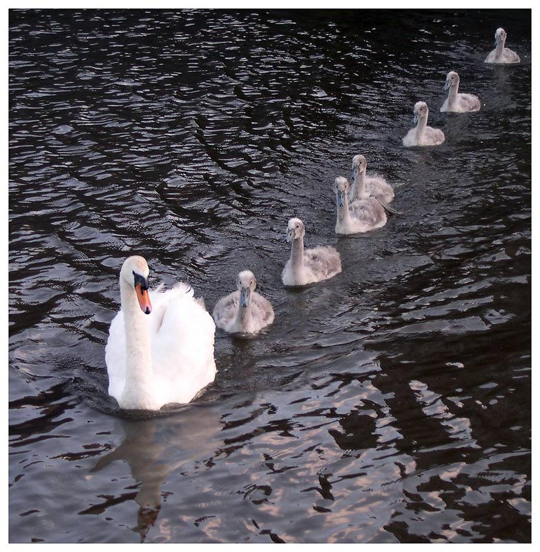 Swans a Swimming 7 Swans a Swimming Cost Over