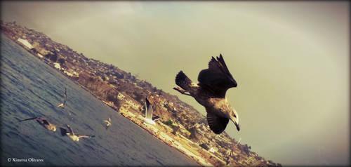 Gaviota dominicana / Kelp Gull by pequechip